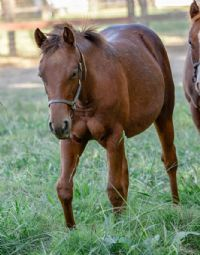 Boon Too Suen X<br>Smart Lil Lucille Filly