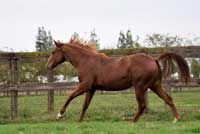 Cat Ichi x<br>Miss Haulin Hickory Filly