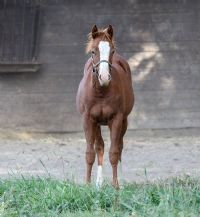 Smooth Talkin Style x<br>Miss Haulin Hickory Colt