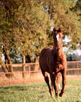 Boon Too Suen x <br>Little Buchedu Filly