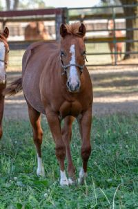High Brow CD x<br>Miss Haulin Hickory Filly